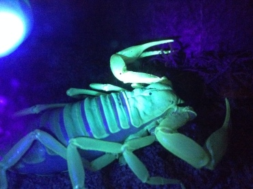Scorpion glowing under a UV lamp